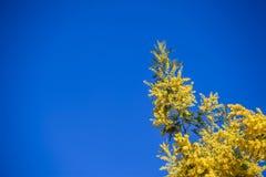 Mimosa floreciente en un cielo azul Imagen de archivo libre de regalías