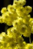 Mimosa flower Royalty Free Stock Photo