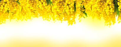 Mimosa flower bloom panoramic background. Greeting card template. Shallow depth Stock Photography