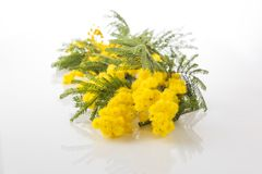 Mimosa flower bunch on white stock images