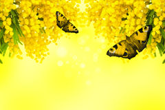 Mimosa flower with butterfly on yellow background Royalty Free Stock Photos