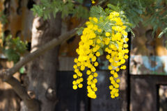 Mimosa. It is a flower of mimosa in full bloom stock image