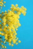 Mimosa flower isolated on blue Royalty Free Stock Images