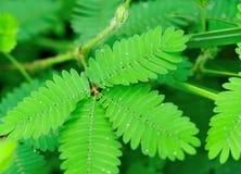 Mimosa Royalty Free Stock Photo