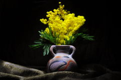 Mimosa flower still life Royalty Free Stock Image