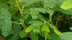 Mimosa stock footage