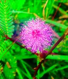 Mimosa. Flower in winter at ChiangMai Royalty Free Stock Photography