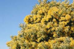Mimosa flowered in March Stock Images