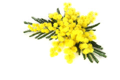 Mimosa flowers. Mimosa  on the white background Stock Photo