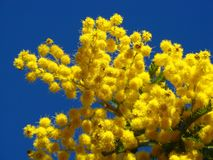 Mimosa flowers. Some mimosa flowers in a Provence blue sky Royalty Free Stock Photography