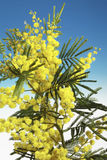 Mimosa flowers. On blu background Royalty Free Stock Photos