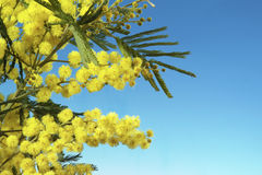 Mimosa flowers. With copy space on blu background Stock Photography