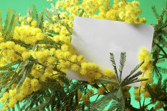 Mimosa flowers with blank card. With green background Royalty Free Stock Photos