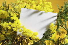 Mimosa flowers with blank card. On orange background Stock Photos