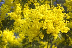 Mimosa flowers on blue sky. Mimosa yellow spectacular blossom on blue sky stock photo