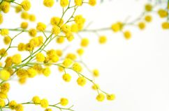 Mimosa flowers branch. Mimosa silver wattle flowers branch isolated on white background Royalty Free Stock Images