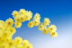 Mimosa flowers cloose up Royalty Free Stock Photos