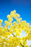 Mimosa flowers cloose up Royalty Free Stock Photography