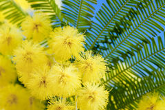 Mimosa flowers cloose up Stock Photo