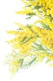 Mimosa Royalty Free Stock Photos