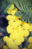 Mimosa flowers for International Women s Day. Yellow mimosa flowers for International Women`s Day Stock Photos