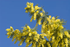 Mimosa flowers on plant Royalty Free Stock Photos