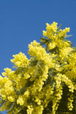 Mimosa flowers on plant Stock Images