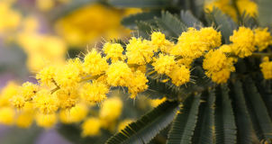 Mimosa flowers on the plant in March Royalty Free Stock Photo