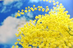 Mimosa flowers Royalty Free Stock Photos