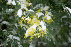 Mimosa flowers under the snow Royalty Free Stock Photo