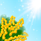 Mimosa flowers. Royalty Free Stock Images