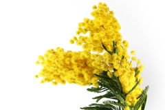 Mimosa flowers on the white background Stock Photo
