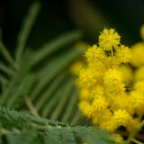 Mimosa Flowers Royalty Free Stock Images