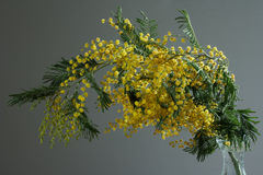 Mimosa on gray background Royalty Free Stock Photo