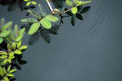Mimosa growing in water Stock Images