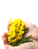 Mimosa. Hand girl with mimosa on white background Stock Photography