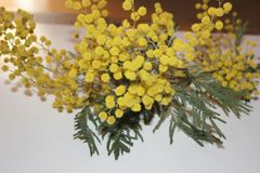 Mimosa. Image with withe background and mimosa flowers stock illustration