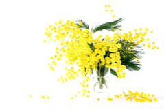 Mimosa for international women's day. Spring mimosa and white background Stock Photo