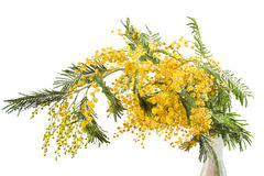 Mimosa isolated Royalty Free Stock Images