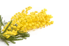 Mimosa isolated on white background, women day. Holiday concept royalty free stock photography
