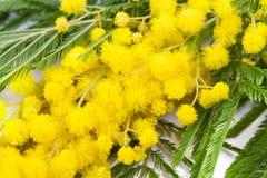 Mimosa kvinnadag Royaltyfri Foto