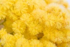 Mimosa kvinnadag Royaltyfri Bild
