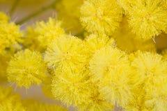Mimosa kvinnadag Arkivbild