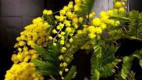 mimosa La primavera della mimosa fiorisce il fondo di Pasqua Albero di fioritura della mimosa stock footage