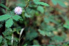 Mimosa, las reacciones de las plantas sensibles para tocar cuando está tocado fotos de archivo