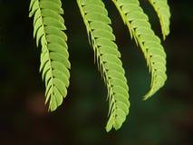 Mimosa leaf Stock Photo