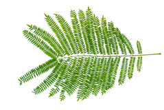 Mimosa Leaves Stock Photos