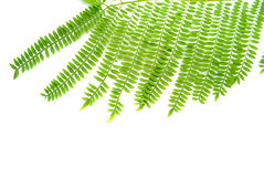 Mimosa Leaves Stock Images