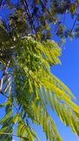 Mimosa leaves against a deep blue sky royalty free stock photography