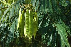 Mimosa leaves and seed pods stock photos